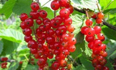 Смородина красная Ненаглядная: описание сорта, уход и выращивание