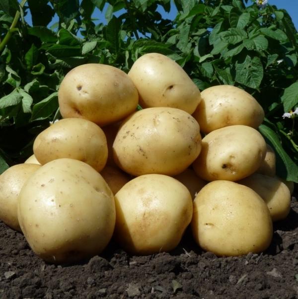 Нандина: описание сорта картофеля, характеристики, агротехника