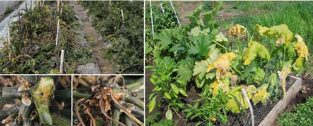 О болезнях кабачков: белый налет, скручиваются и сохнут листья, признаки мучнистой росы