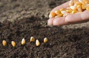 Нужно ли замачивать семена кукурузы перед посадкой и на сколько времени (как правильно)