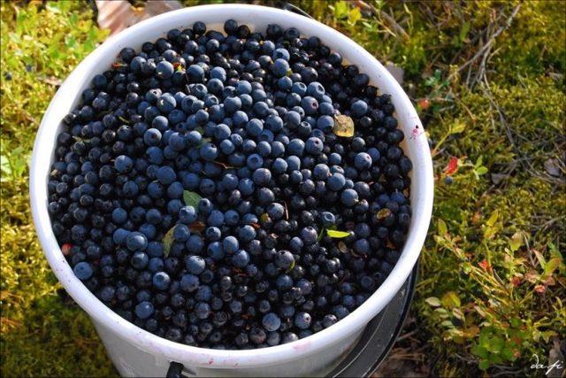 Где растет черника в России: описание ягоды, способы заготовки
