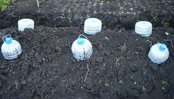 О сроках высадки кабачков в открытый грунт, при какой температуре