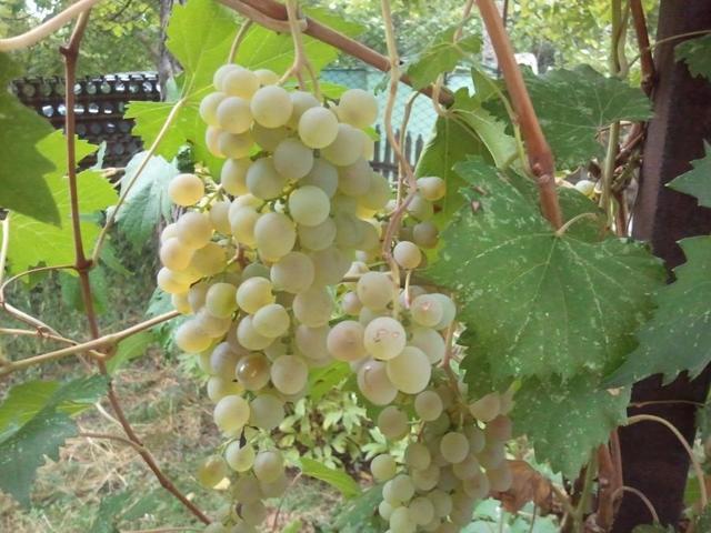 О винограде Цитронный Магарача: описание и характеристики сорта, посадка и уход
