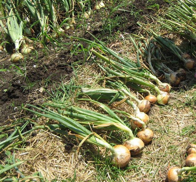 Все о сорте лука Халцедон: посадка и уход, особенности выращивания