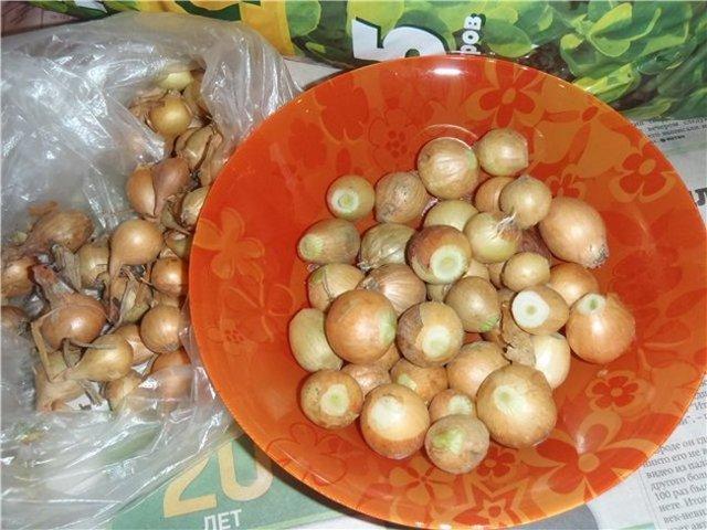 О посадке проросшего лука севка: можно ли сажать, как это сделать
