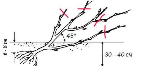 Посадка смородины и крыжовника весной: расстояние между кустами