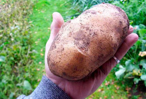 Как часто и когда поливать картофель после посадки в открытом грунте