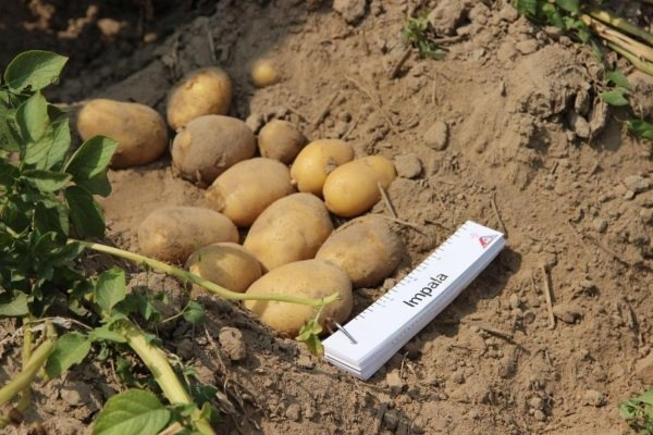 Картофель голландский: : описание сорта, характеристики, агротехника