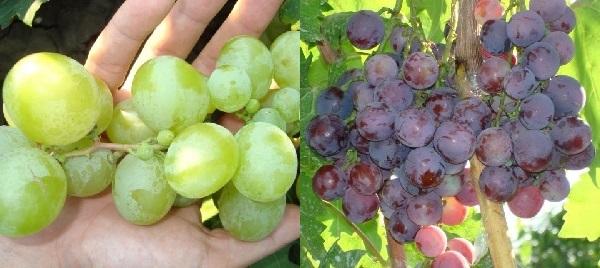 Описание сорта винограда Супер Экстра, особенности, советы по уходу