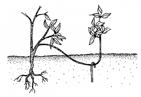 Как размножить смородину черенками весной: подготовка саженцев, уход