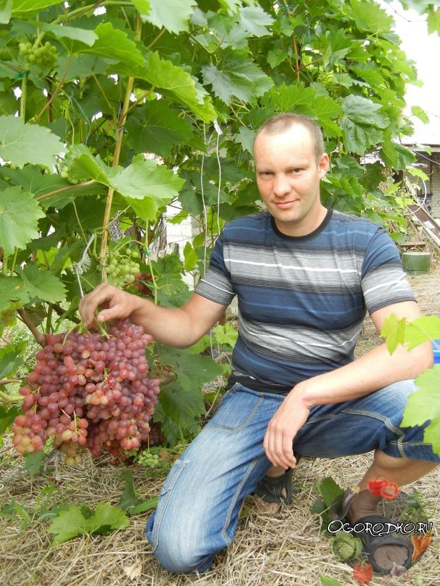 Описание сорта винограда Велес, характеристики и особенности выращивания