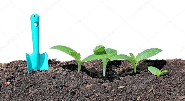 О рассаде огурцов в теплице: кто подъедает, ест листья и семена растения