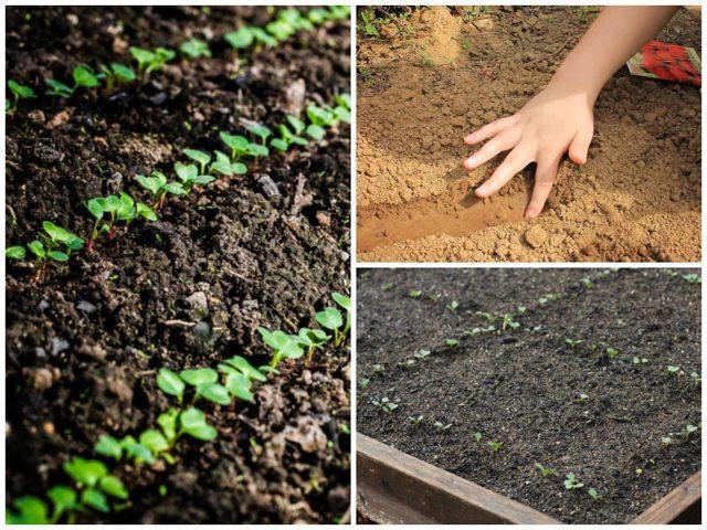 Как посадить редис весной: посев и уход за редисом в открытом грунте