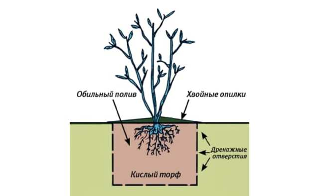 Как посадить чернику садовую: выращивание, размножение и уход