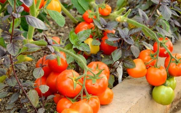 Санька: описание сорта томата, характеристики помидоров, выращивание
