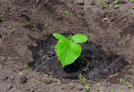 Об огурце кустовом: описание и характеристики сортов, посадка и уход