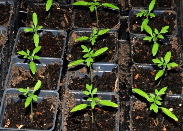 Посадка помидоров в открытый грунт, как правильно высаживать семя томата