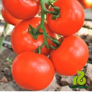 О томате Государь: описание сорта F1, характеристики помидоров, посев