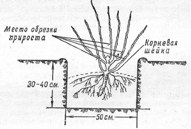 Смородина Селеченская: описание и характеристики сорта, посадка и уход