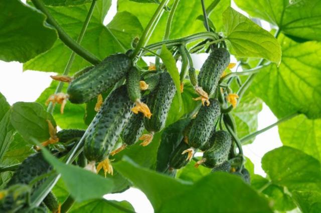 Об огурцах пучковых: описание и характеристики сортов, посадка, выращивание