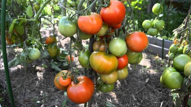 Дубрава: описание сорта томата, характеристики помидоров, выращивание