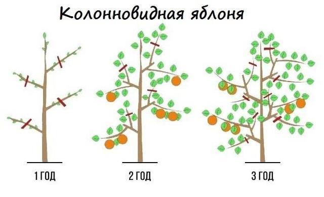 О яблоне колоновидной Каскад: описание и характеристики сорта, посадка и уход