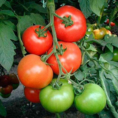 Верлиока: описание сорта томата, характеристики помидоров, выращивание