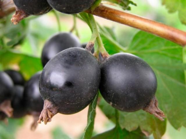 Йошта: гибрид крыжовника и смородины, посадка и уход, выращивание