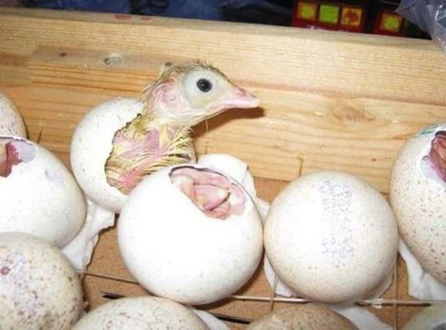 Об инкубации индюшиных яиц в домашних условиях: режим и период инкубации яиц
