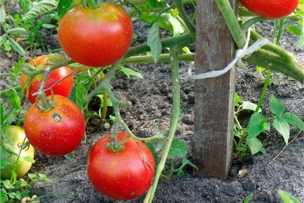 Ирина: описание сорта томата, характеристики помидоров, выращивание