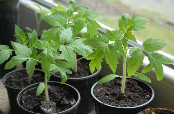 О томате Корнабель: описание сорта, характеристики помидоров, посев