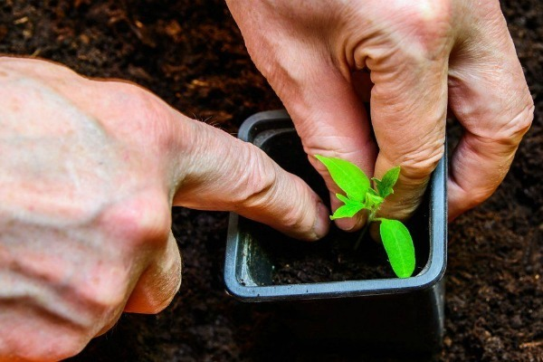 О томате Мармеладный: правила посадки, ухода, выращивания, размножения