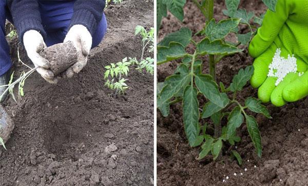 Примадонна: описание сорта томата, характеристики помидоров, посев