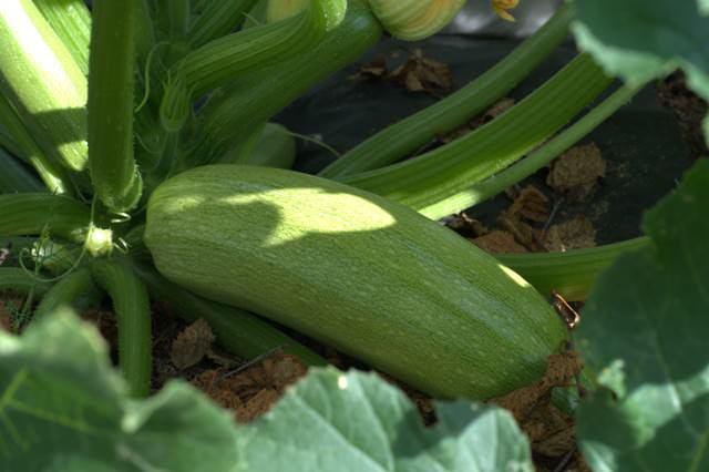 Все о сорте кабачка цуккини Зебра: посадка и уход, особенности выращивания