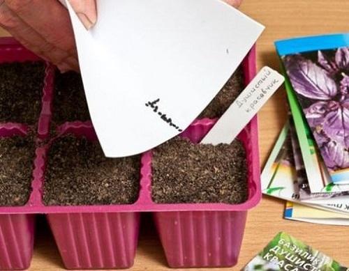 Как посадить и вырастить базилик на рассаду правильно: уход за растениями