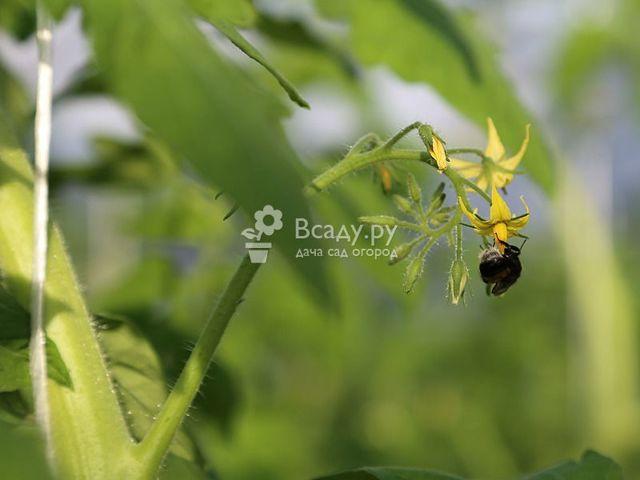 О помидорах в теплице: посадка и уход, выращивание в теплице из поликарбоната