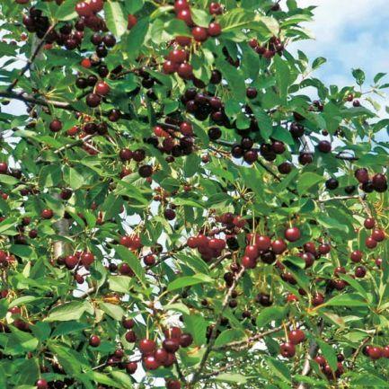 О вишне Морель: описание и характеристики сорта, уход и выращивание