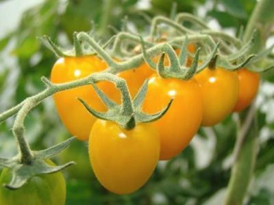 Золотое руно: описание сорта томата, характеристики помидоров, посев