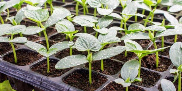 О том, как сеять огурцы на рассаду: когда сажать семена, на какую глубину