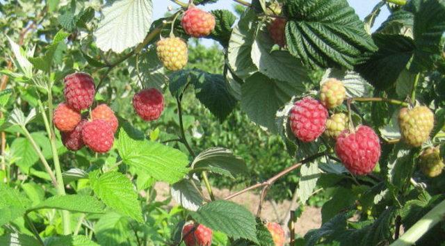 Выращивание малины обыкновенной: описание сортов, посадка, уход, разведение