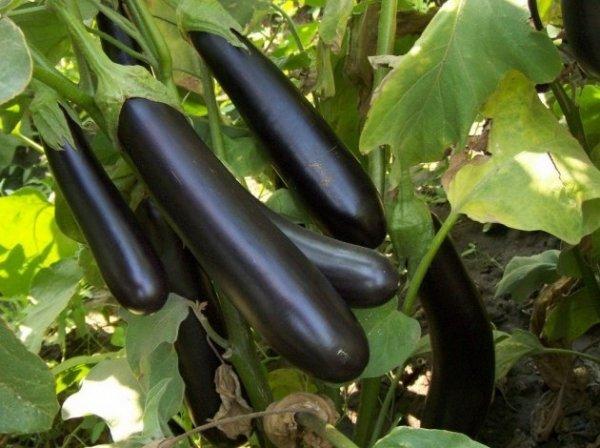 О сорте баклажанов Валентина f1: описание, агротехника выращивания сорта