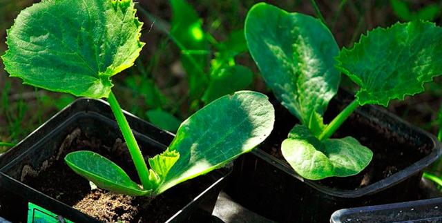 О посадке кабачков на рассаду: подготовка условий для выращивания