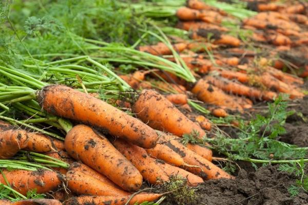 Шантанэ: описание сорта моркови роял, характеристики, агротехника
