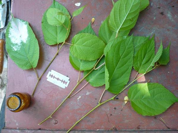 Секреты выращивания актинидии, правила ухода, улучшение плодоношения