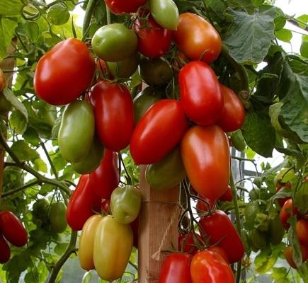 О томате Персиановский: описание сорта, характеристики помидоров, посев