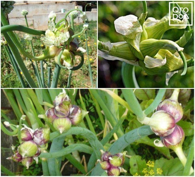 Все о сортах лука: разновидности, как выглядят, название лука для посадки