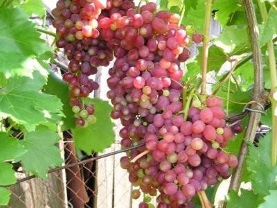 Описание плодового винограда Кишмиш Лучистый: преимущества и недостатки
