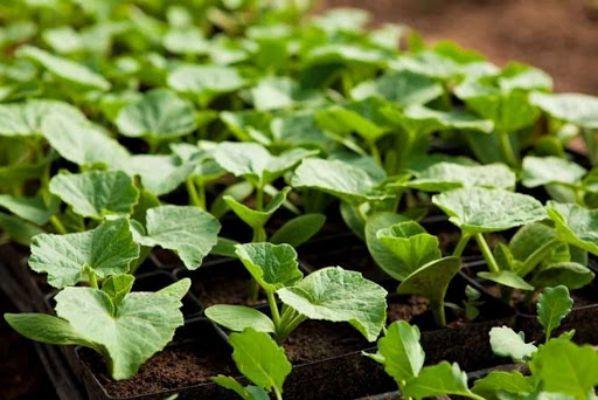 Посадка огурцов и кабачков на рассаду: когда благоприятный день для посева