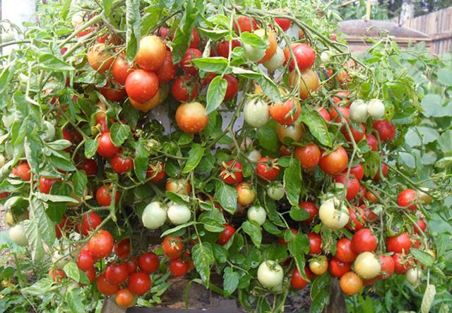 Все о томате Штраух: агротехника, характеристики и описание сорта