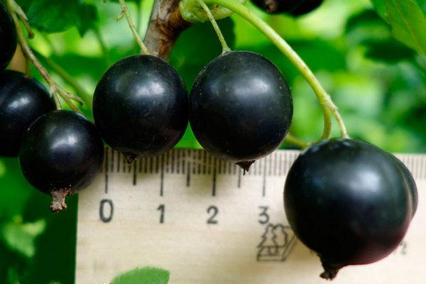 Смородина Тамерлан: описание и характеристики сорта, уход и выращивание